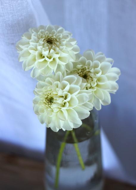 Dahlias, white