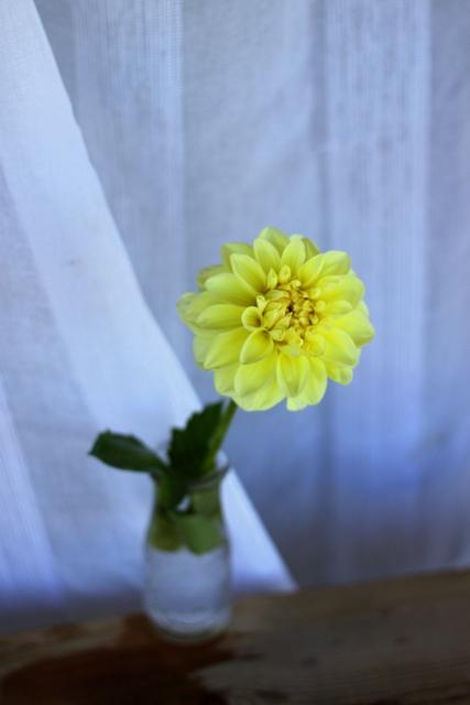 Dahlias, yellow