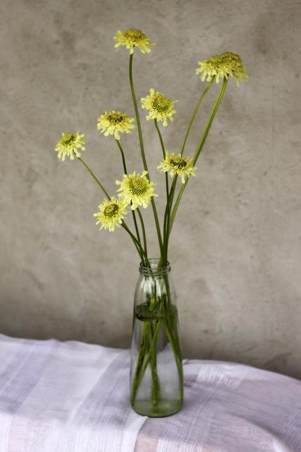 Pincushion Flower, light yellow