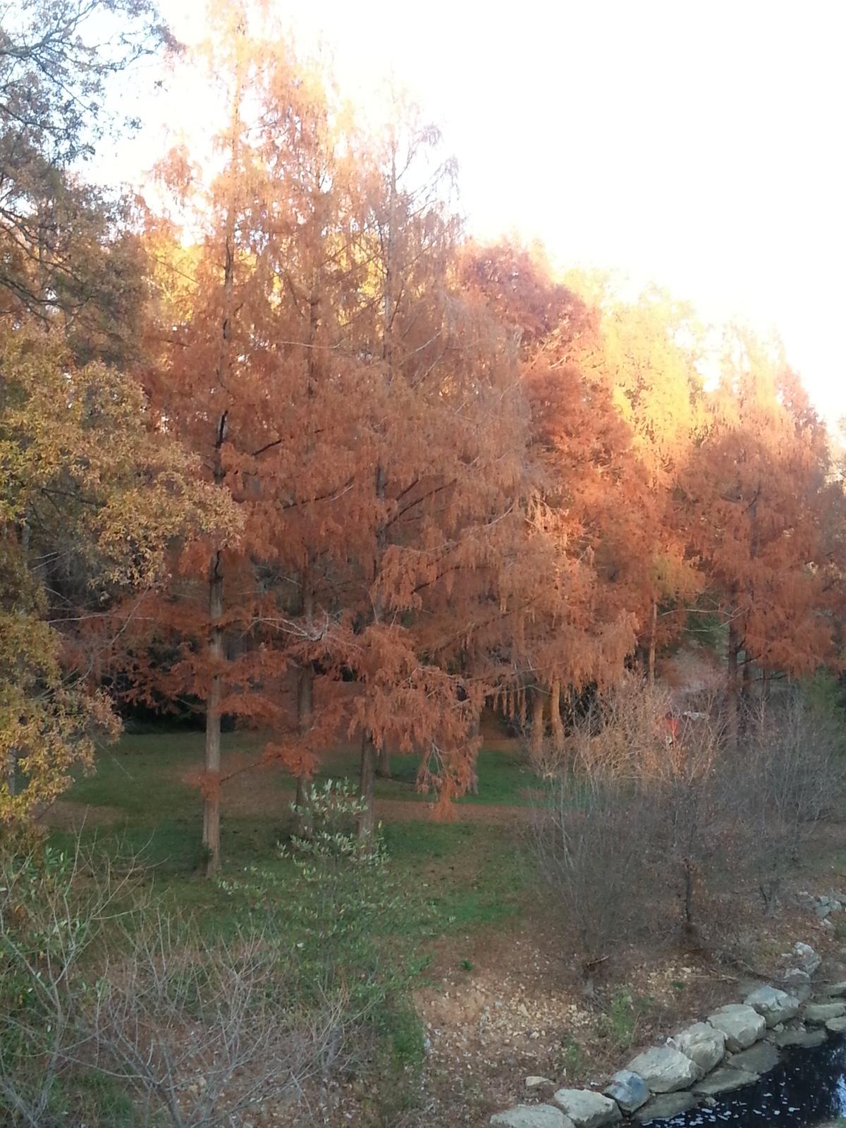 Dawn Redwoods in Pullen Park - Autumn 2017