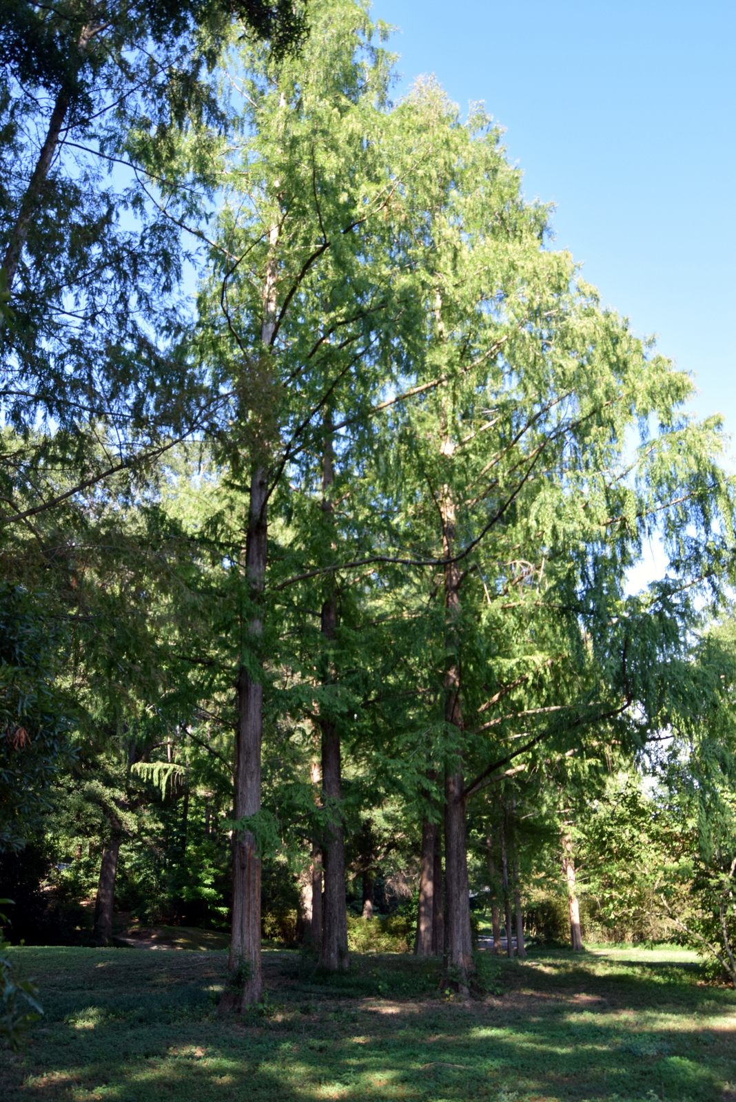 Dawn Redwood in 2017