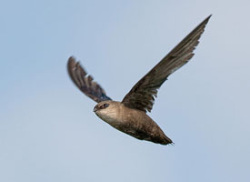Chimney Swift.jpg
