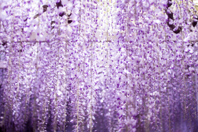 wisteria_5.png