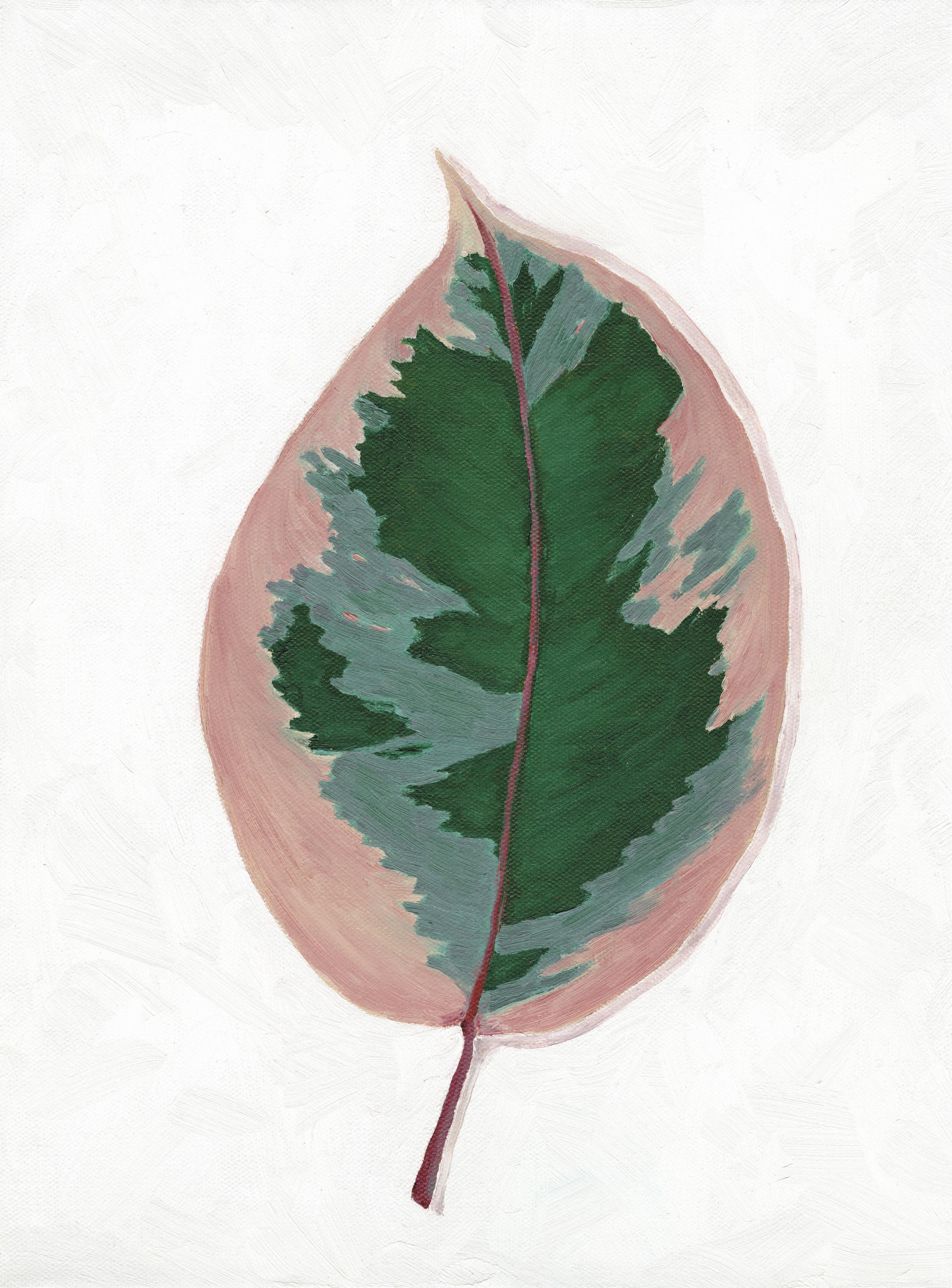 Ficus Ruby.jpg