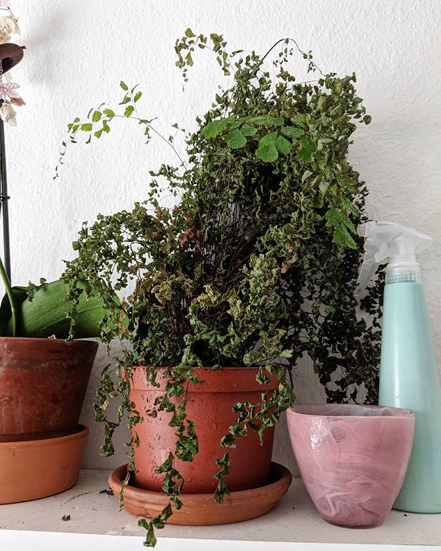 "People say it's good to talk to your plants. So every morning I spritz my Maidenhair fern with water and scream ""DON'T YOU DIE ON ME!!!"" . . . #gardeningtips #greenthumb"