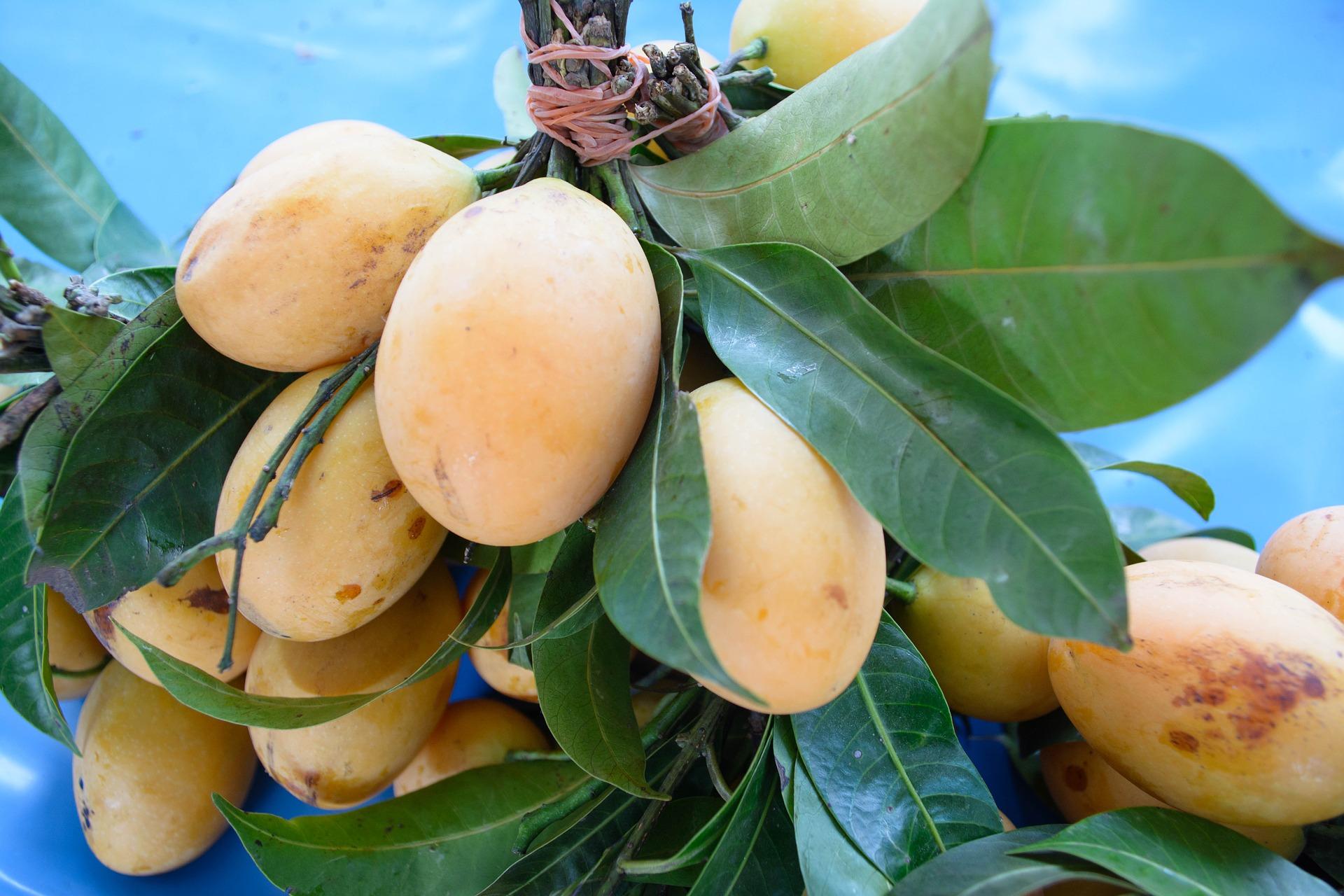 mango nevis island caribbean