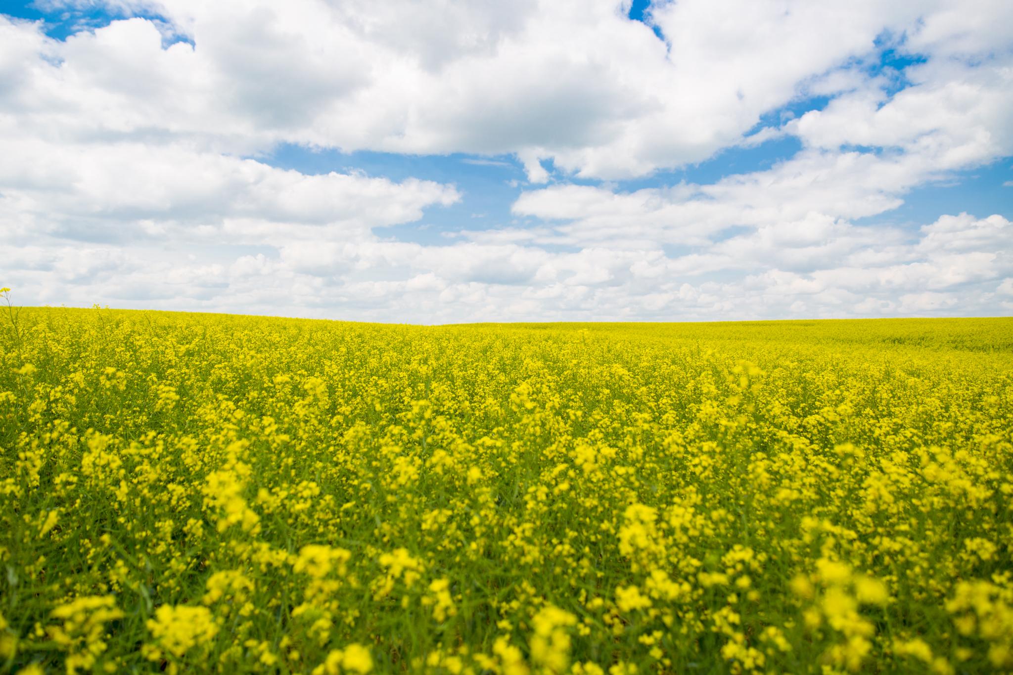 Canola Field Saskatchewan