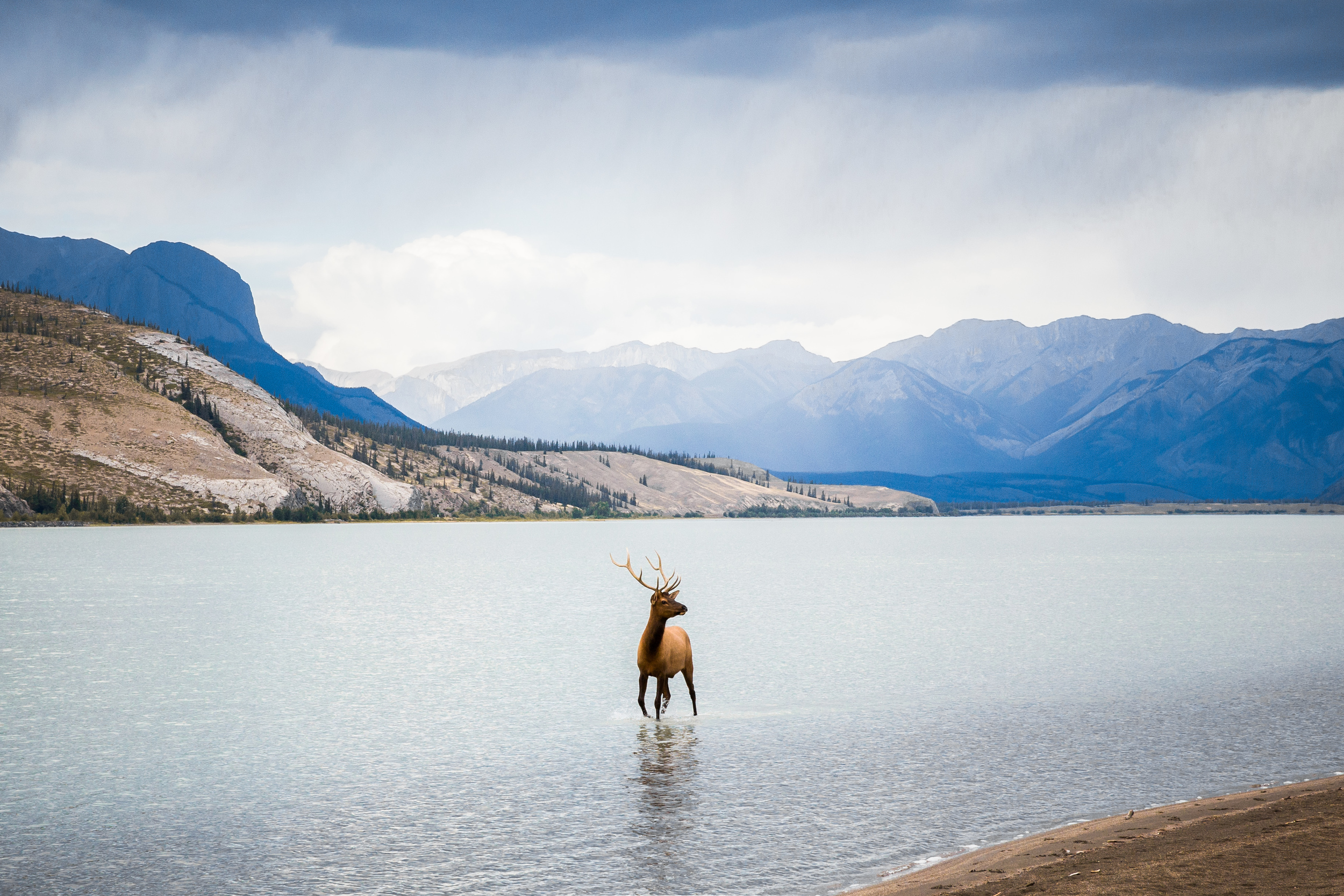 WildernessCulturePrint - Taylor Burk Elk Crossing Jasper Lake.jpg