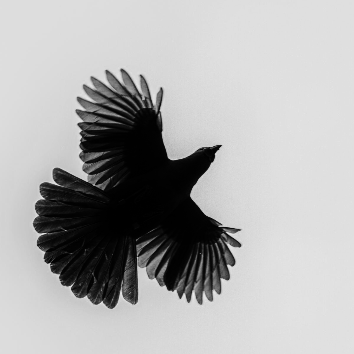 Original photo of NI kōkako by Martin Sanders, altered to illustrate silhouette