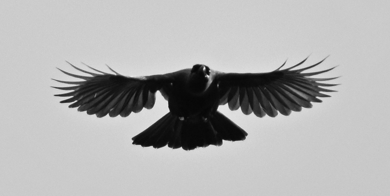 - Original photo NI kōkako by Mark Darin, altered to illustrate silhouette