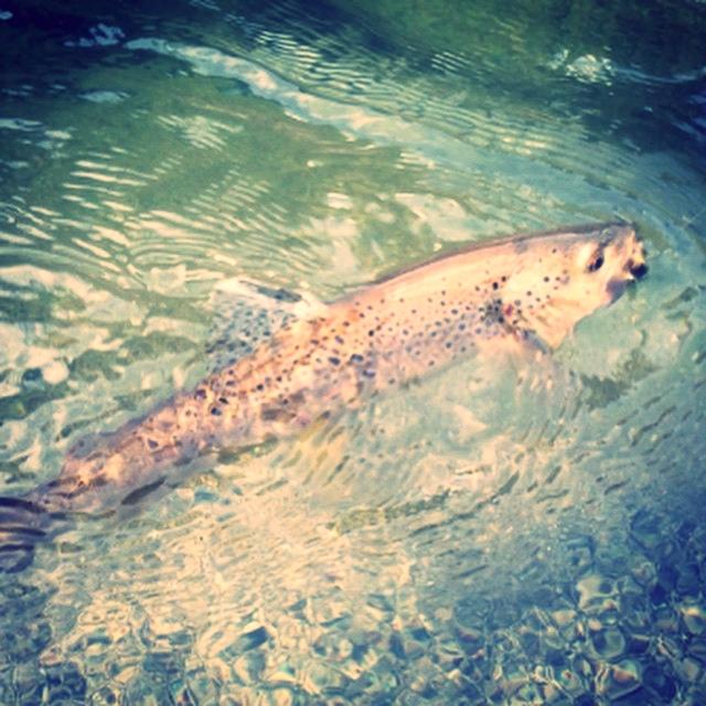 Stanislauas trout fly fishing