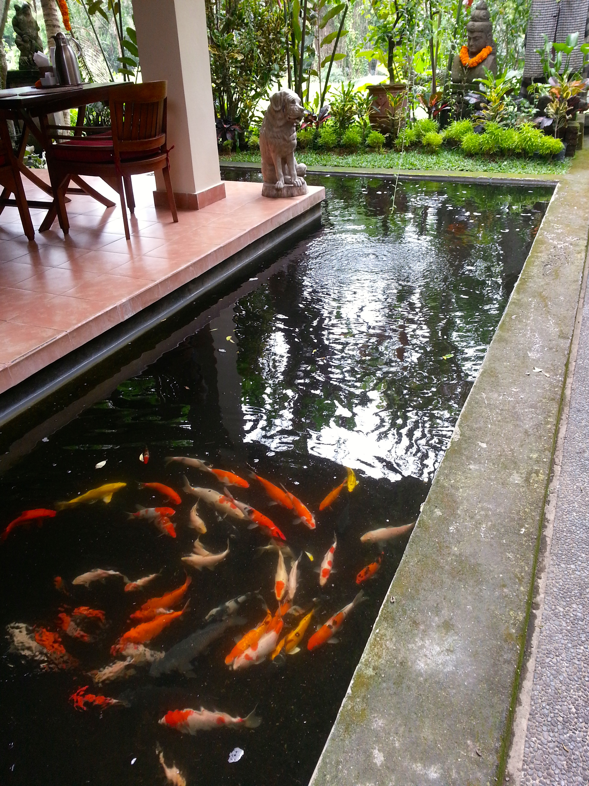 The lovely Koi pond in our homstay