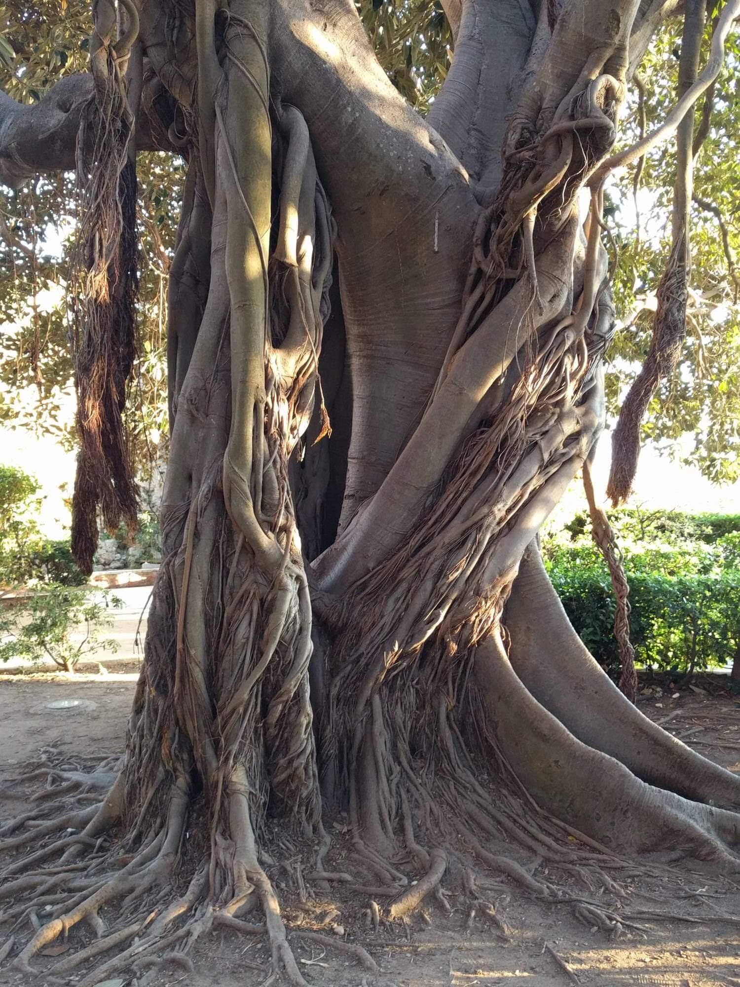 Tropiklere has banyan ağacı. Mafyanın resmini çekecek halim yok, gittim ortamdaki ağacın resmini çektim ertesi sabah.