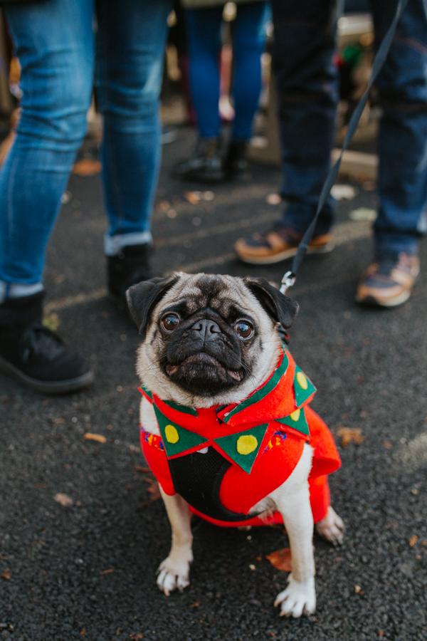 christmas_pug_meeting_liviafigueiredo.com_03.jpg