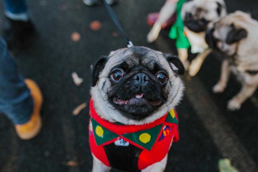 christmas_pug_meeting_liviafigueiredo.com_06.jpg