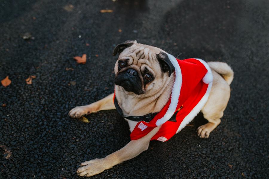 christmas_pug_meeting_liviafigueiredo.com_16.jpg