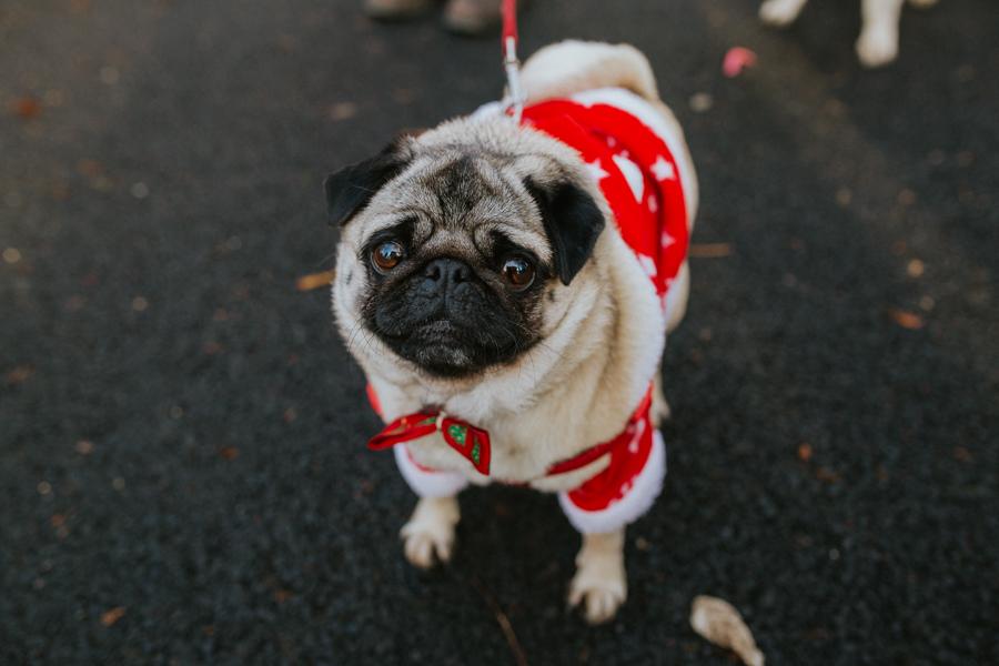 christmas_pug_meeting_liviafigueiredo.com_19.jpg