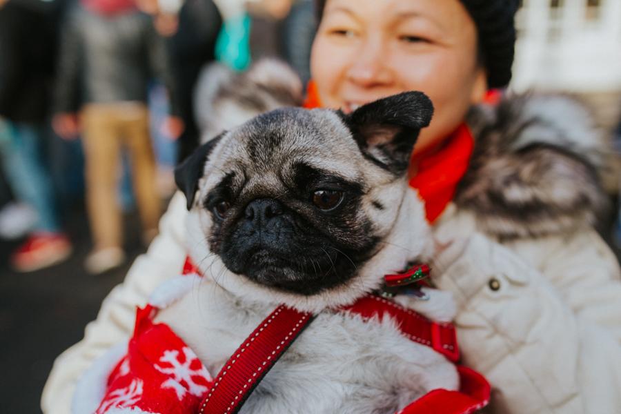 christmas_pug_meeting_liviafigueiredo.com_22.jpg
