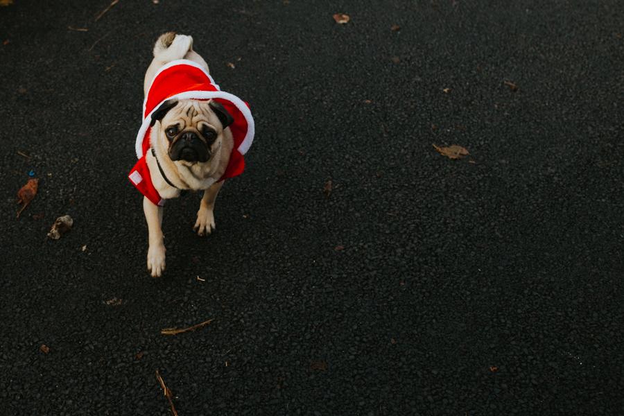 christmas_pug_meeting_liviafigueiredo.com_66.jpg