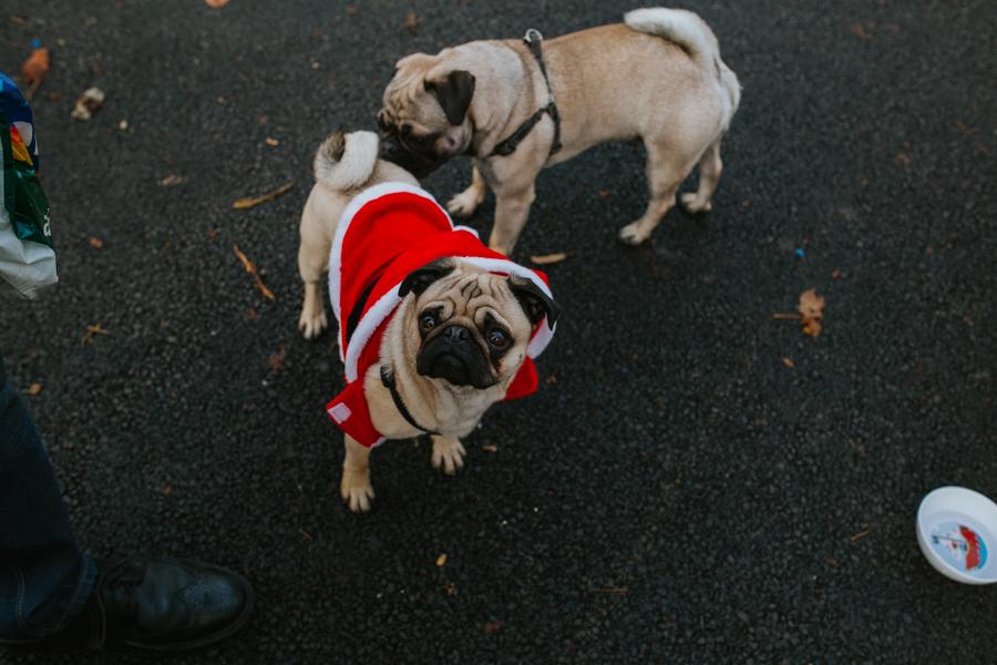 christmas_pug_meeting_liviafigueiredo.com_67.jpg