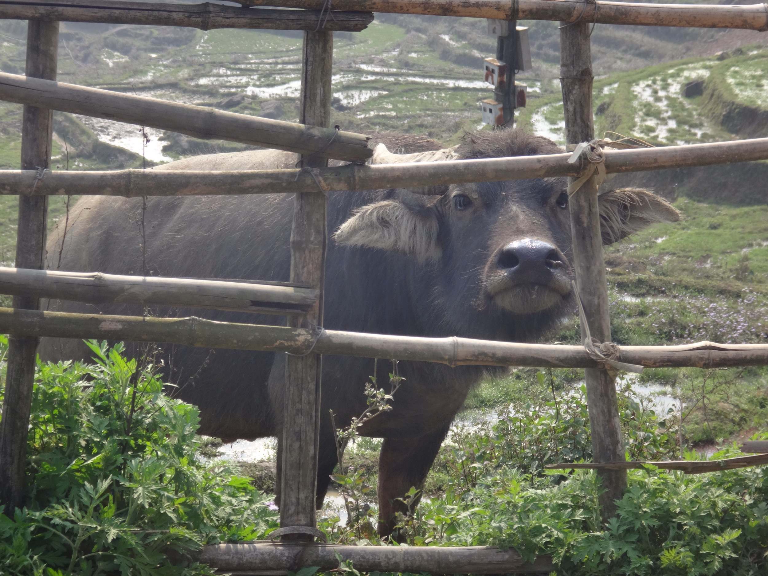 Water buffalo in the right side of a fence ... they can be unpredictable and charge.