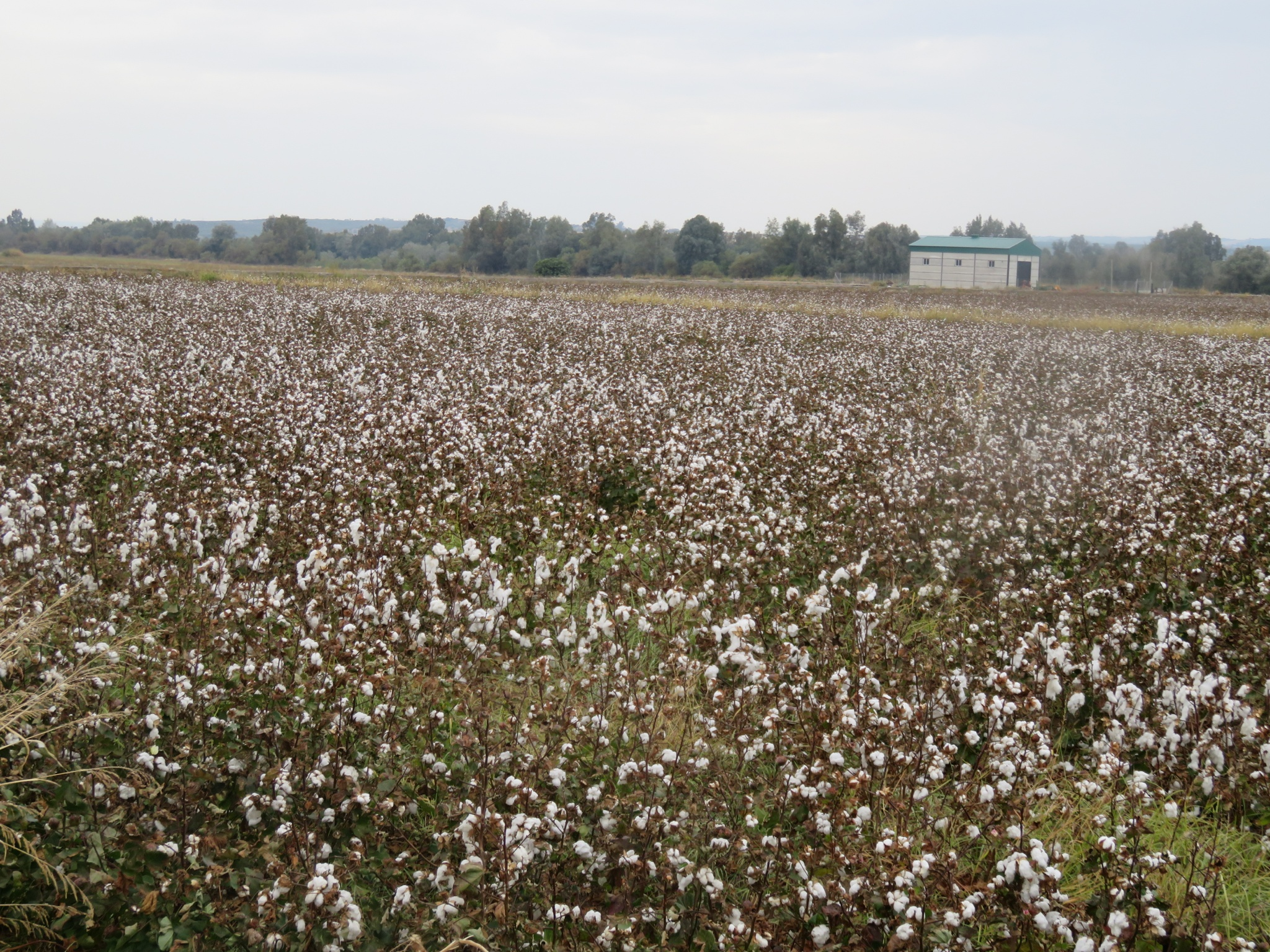 Cotton fields, ready for picking