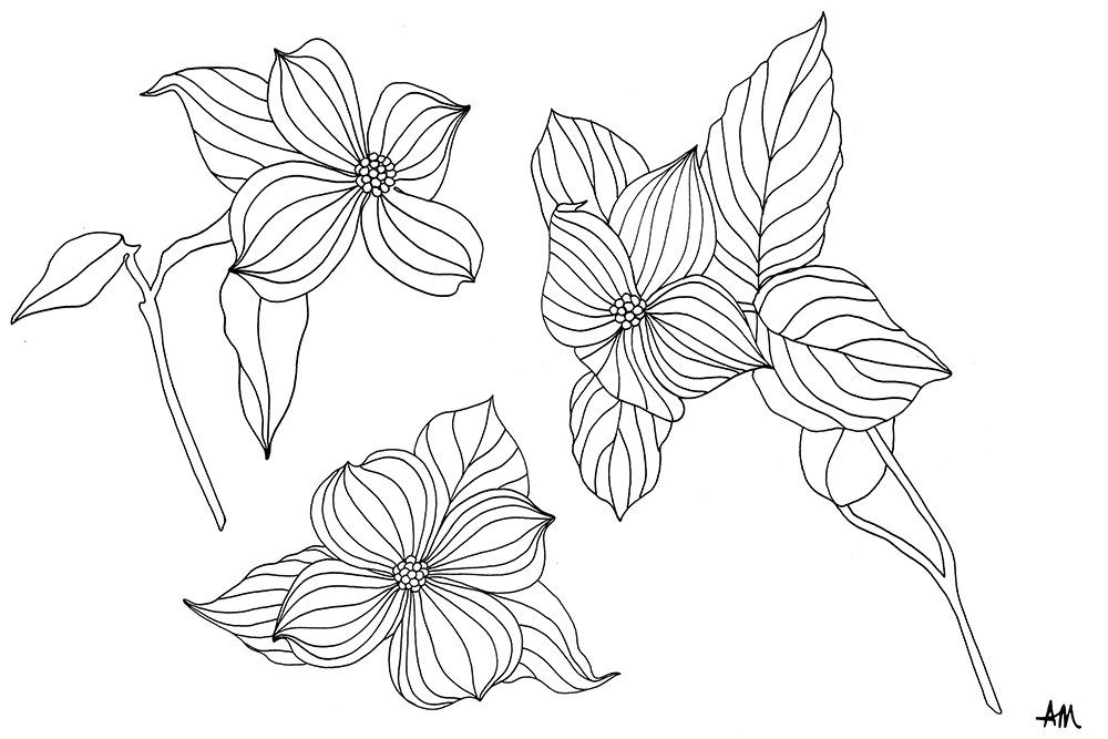dogwood-illustration.jpg