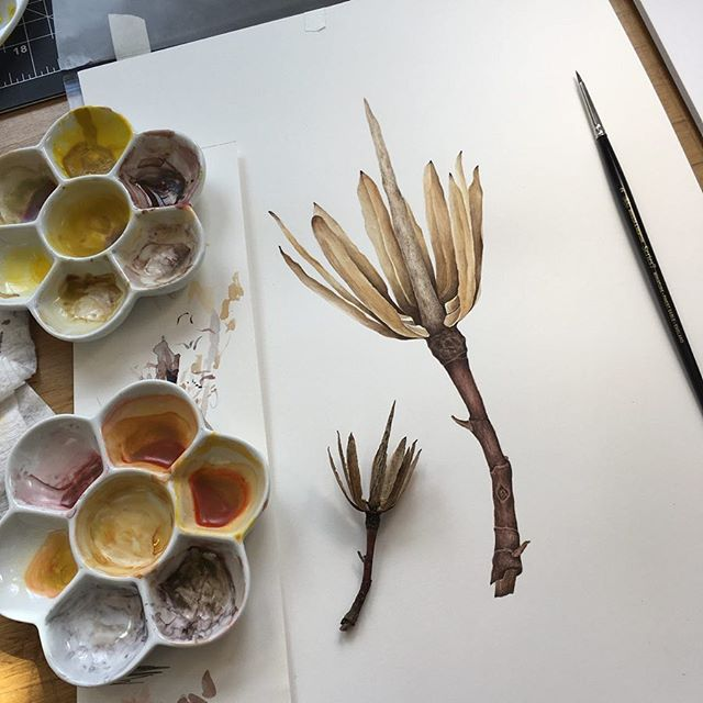 First attempts at painting in watercolor 😏 Hellloooo attention to detail!! I found this little beauty while walking in McCarren Park, it's the pod from a tulip tree 🌳🐿 . . . . .  #botanicalillustration #botanicalwatercolor #tuliptree #tuliptreepods #botanicaldrawing #botanicalgarden #mccarrenpark #thetreesofbrooklyn