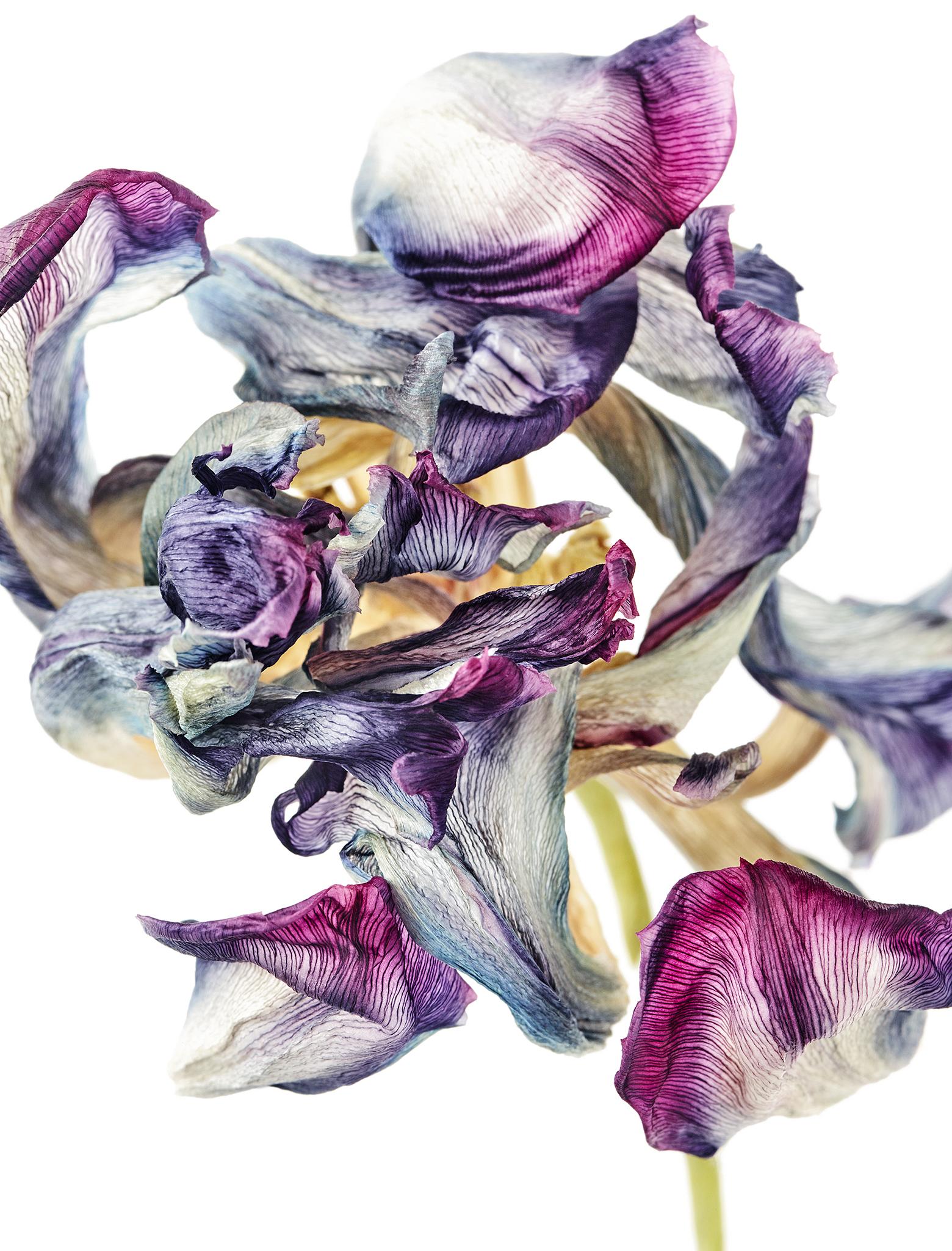 tulip_02.jpg