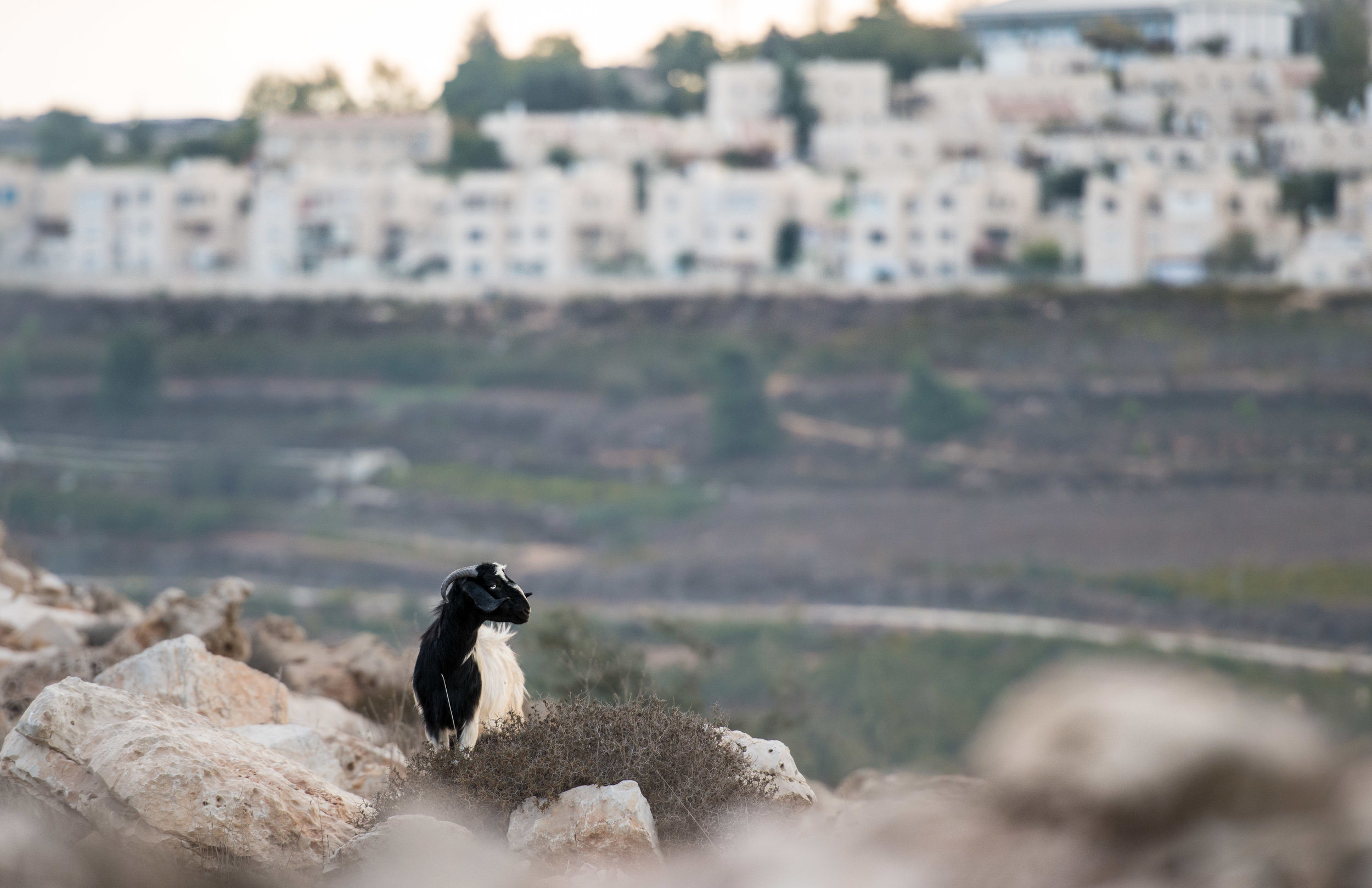 A goat stands amidst boulders at the entrance to Tent of Nations as settlements line the valley's edge in the distance.  West Bank, Palestine
