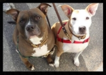 Kane and Tess.  Society calls them pit bulls, we call them Ambass-a-bulls.