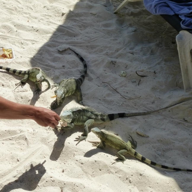 Yes we eat Iguana on Curacao! First, we like to fatten them up with some leftovers.