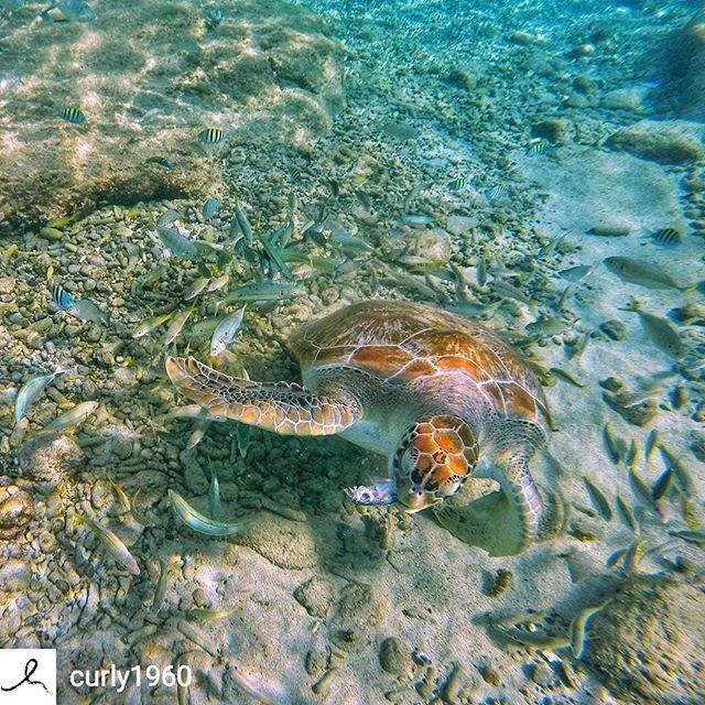 @Regran_ed from @curly1960 -  Geweldig mooi om deze en andere zeeschildpadden van zo dichtbij te zien en met ze mee te zwemmen bij Playa Grandi - #regrann