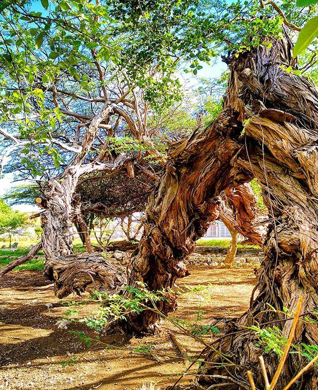 #Curaçao #tree #mundonobo #curacaoisland #curacao_island #curacaobigup #curadise #Curaçao #curacaotb #Willemstad #willemstadcuracao