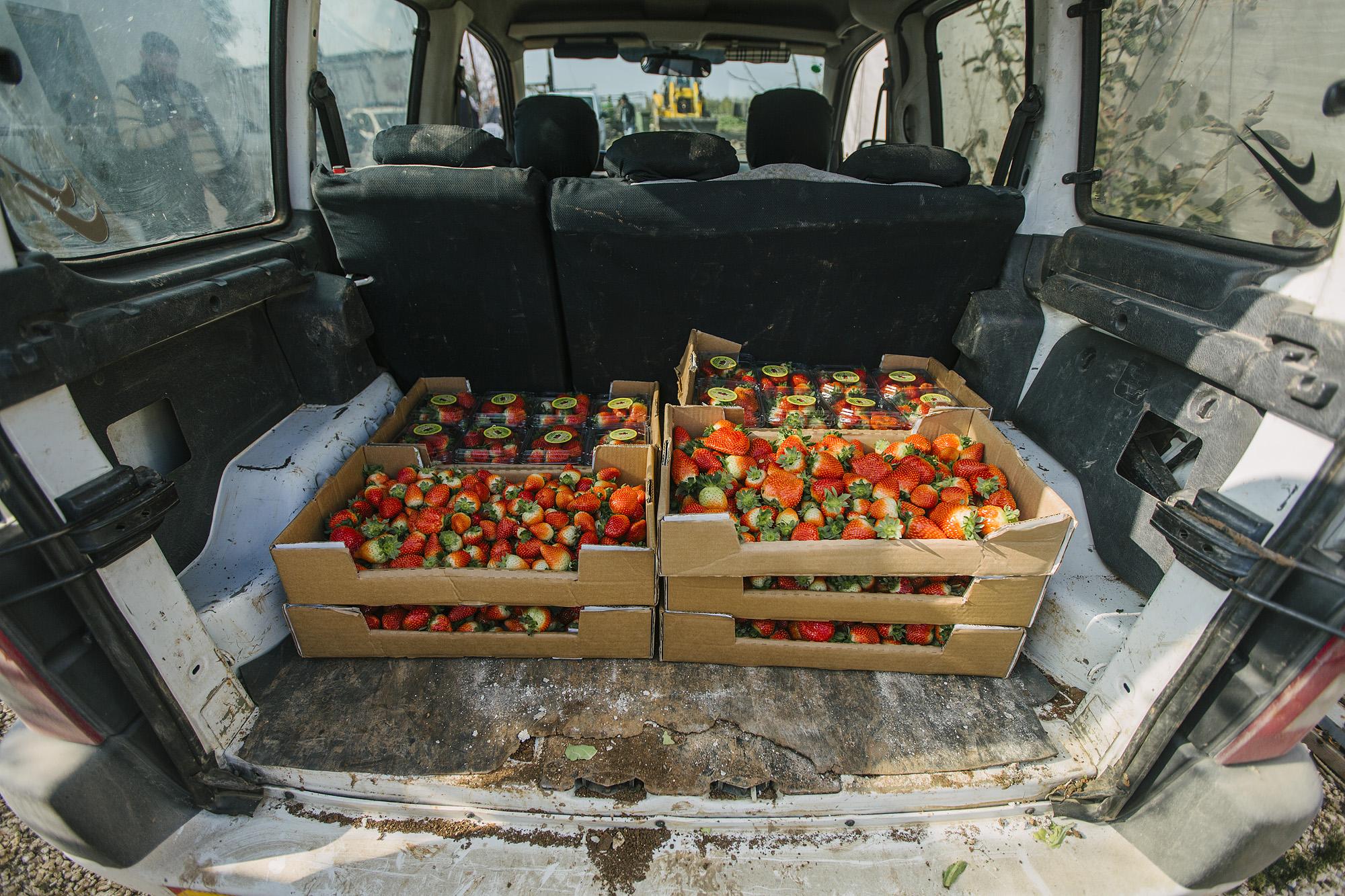 USAID-Israel-Day5-Strawberries-_07A7920.jpg