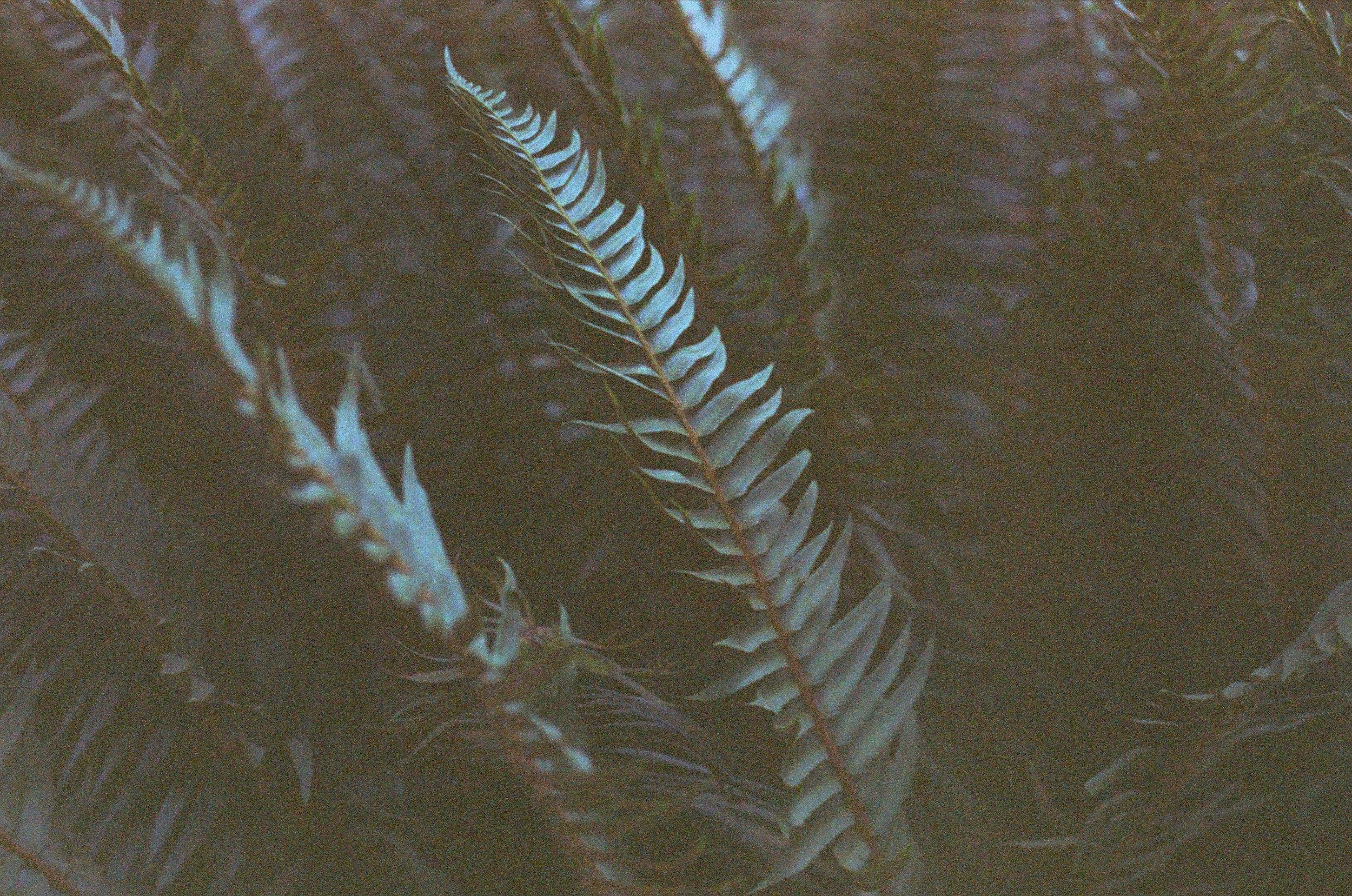 bluefern