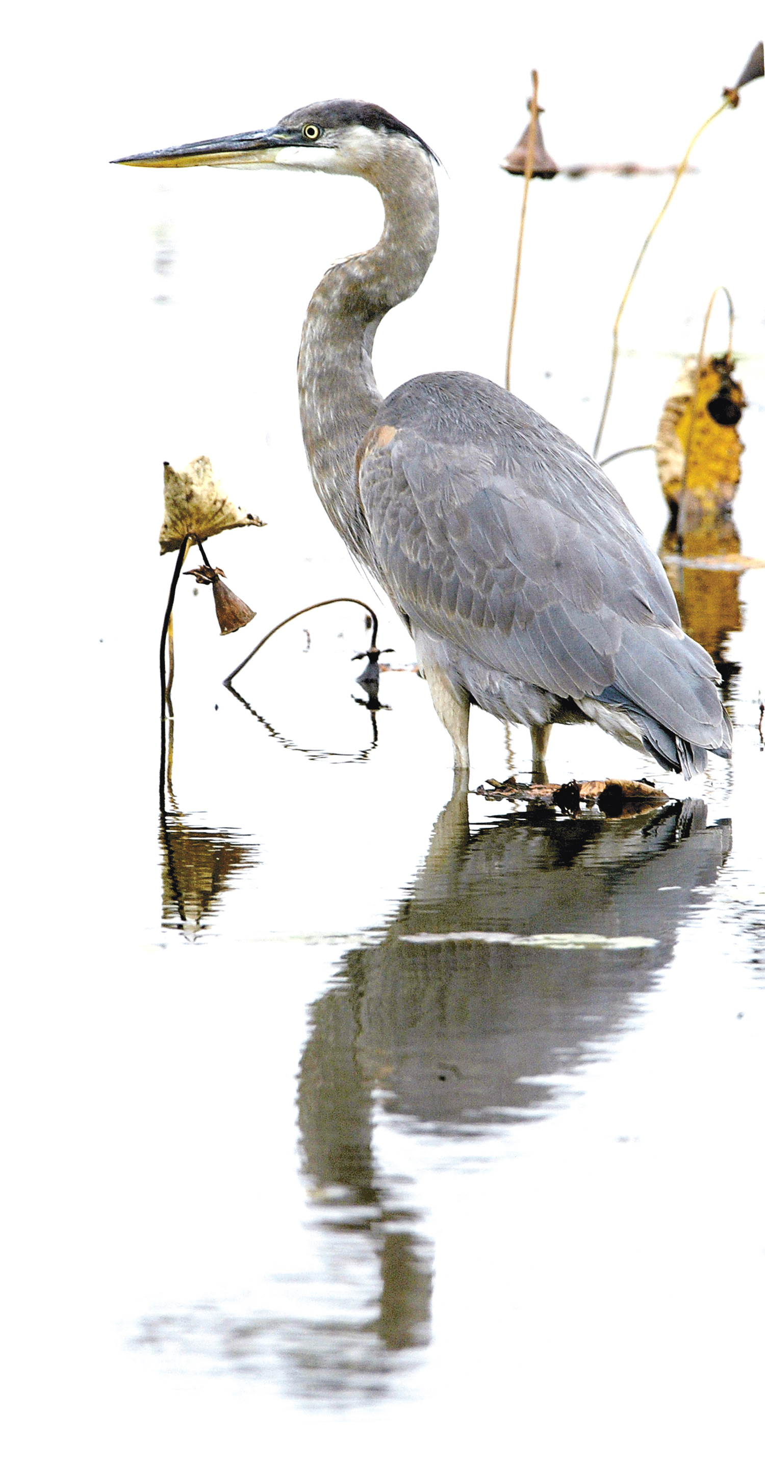 A great blue heron at Spring Lake Fish and Wildlife Area in Tazwell County. Chris Young/The State Journal-Register