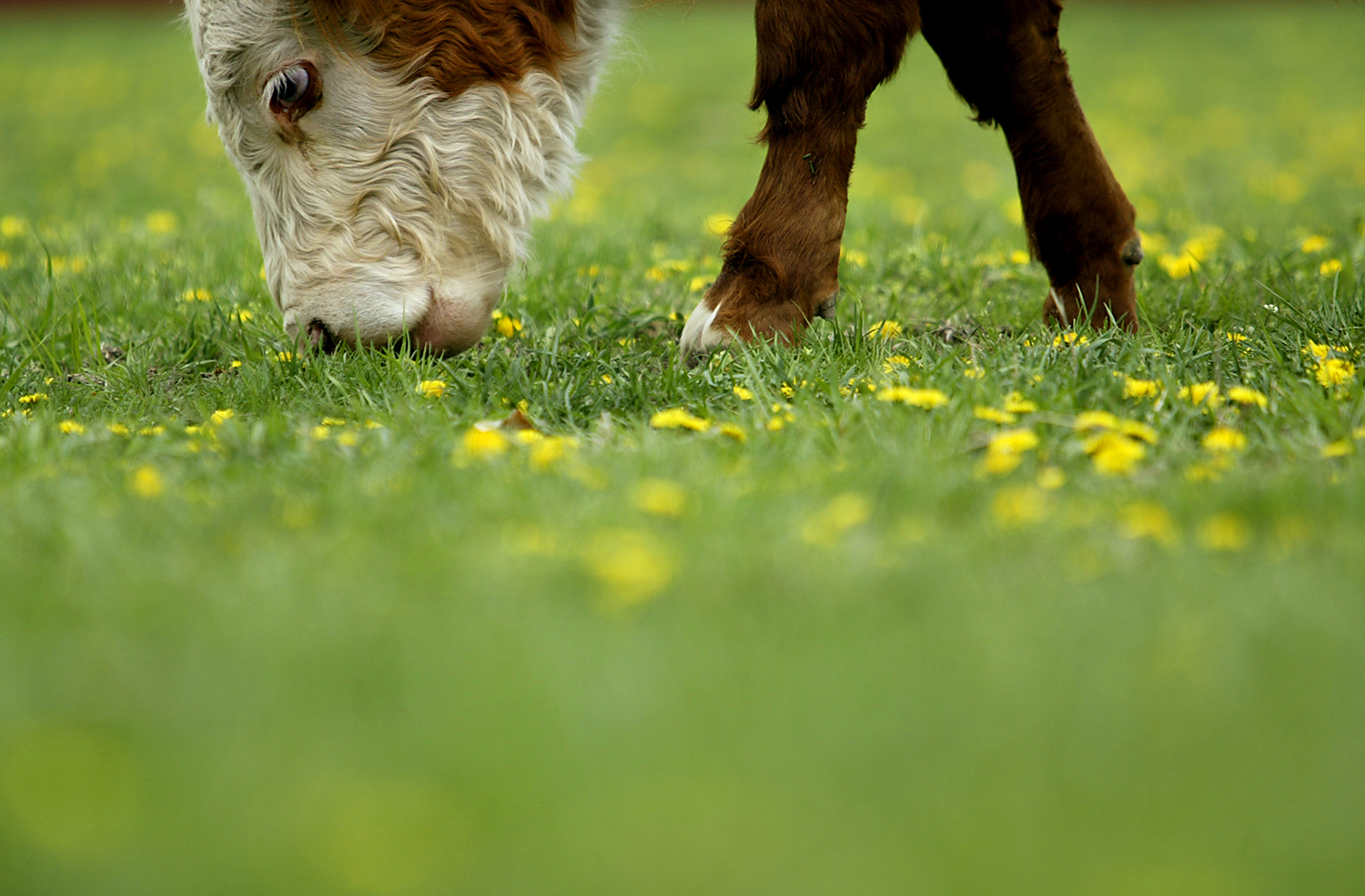 Dandelions dot the the top of a pasture as a cow grazes in a field along Chatham Road. Jonathan Kirshner/The State Journal-Register