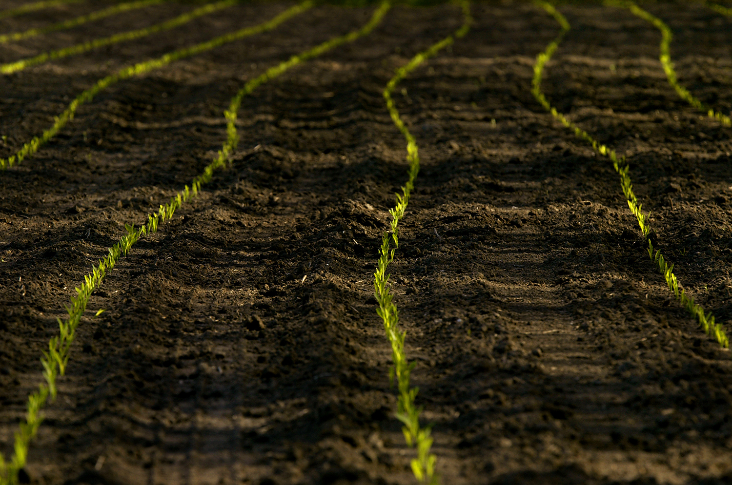 Corn pokes through the moist spring soil in a field along East Lake Shore Drive in Springfield. Jeff Thompson/The State Journal-Register