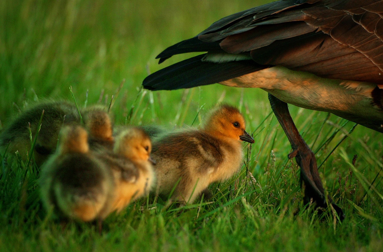 A gaggle of Canada goose goslings follow the mother goose around the banks of Lake Springfield. David Albers/The State Journal-Register