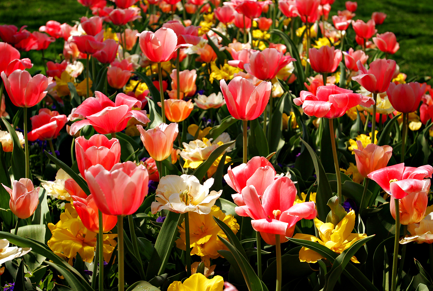 A patch of tulips shine bright at the Shaws Botanical Gardens in St. Louis. David Albers/The State Journal-Register