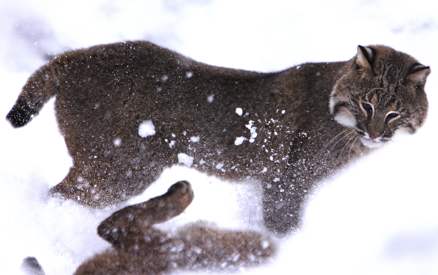 Nichole and Natasha, sister Bobcats who make their home at Springfield's Henson Robinson Zoo, enjoyed playing in the fresh snow inside their enclosure on Tuesday February 9, 2010. David Spencer/The State Journal-Register