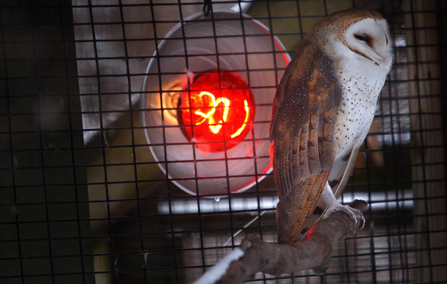 A Common Barn Owl situates itself just so in order to take full advantage of a heat lamp set up outside its' enclosure on Friday, Mar. 1, 2013. Contrary to the beliefs of a few members of the public, Henson Robinson Zoo is open full time during the Winter. The animals, numbering around 250, according to zoo director Talon Thornton, are not transported to Florida for a warm vacation, but stay in residence full time. In fact, winter is an ideal time to check them out, and with human visitors few, it almost feels like a private menagerie. David Spencer/The State Journal-Register