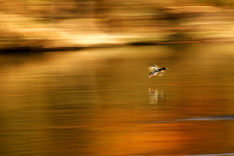 A drake mallard descends for a landing on a pond at Washington Park Sunday, November 4, 2007. Max Bittle/The State Journal-Register