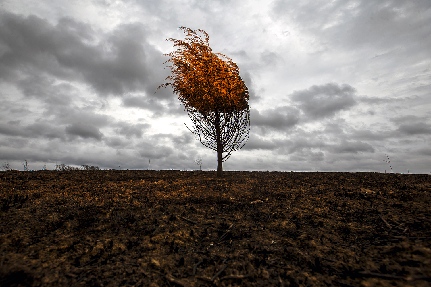 The charred remains of a small cedar tree stands above the burned landscape of Centennial Park as heavy cloud cover moves in March 6. The fire was a result of a controlled prairie burn the previous month. Justin L. Fowler/The State Journal-Register