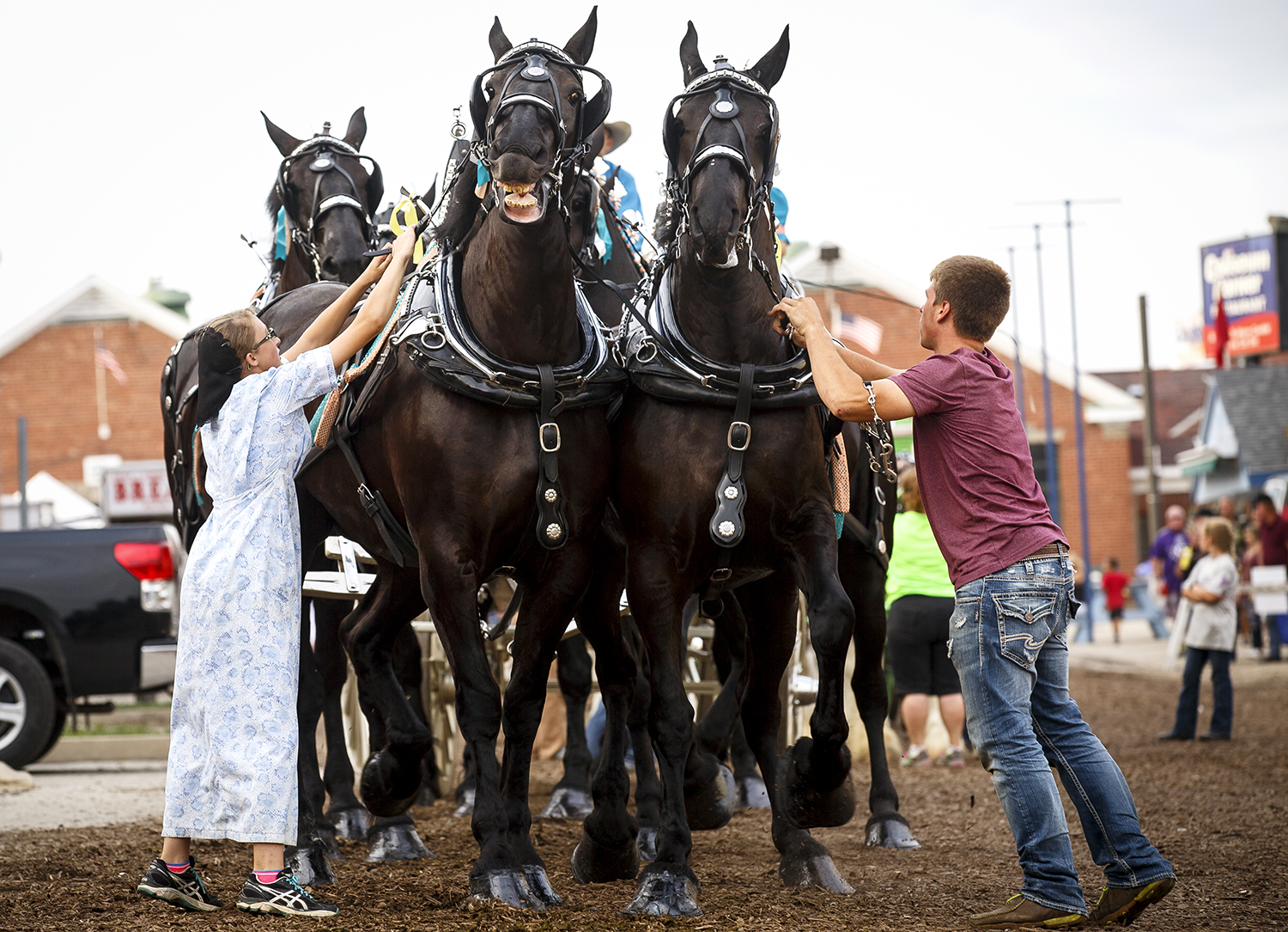Wanda Yoder and Allen Hershberger prepare the Yoder Family Hay Company's Percheron six-mare hitch for the show ring Aug. 15 at the Illinois State Fair. Rich Saal/The State Journal-Register