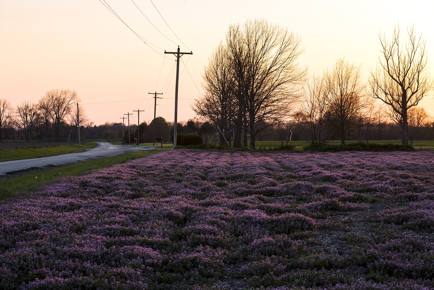 A field of purple henbit, a spring flowering ground cover, is lit by the setting sun near New Berlin April 10. Rich Saal/The State Journal-Register