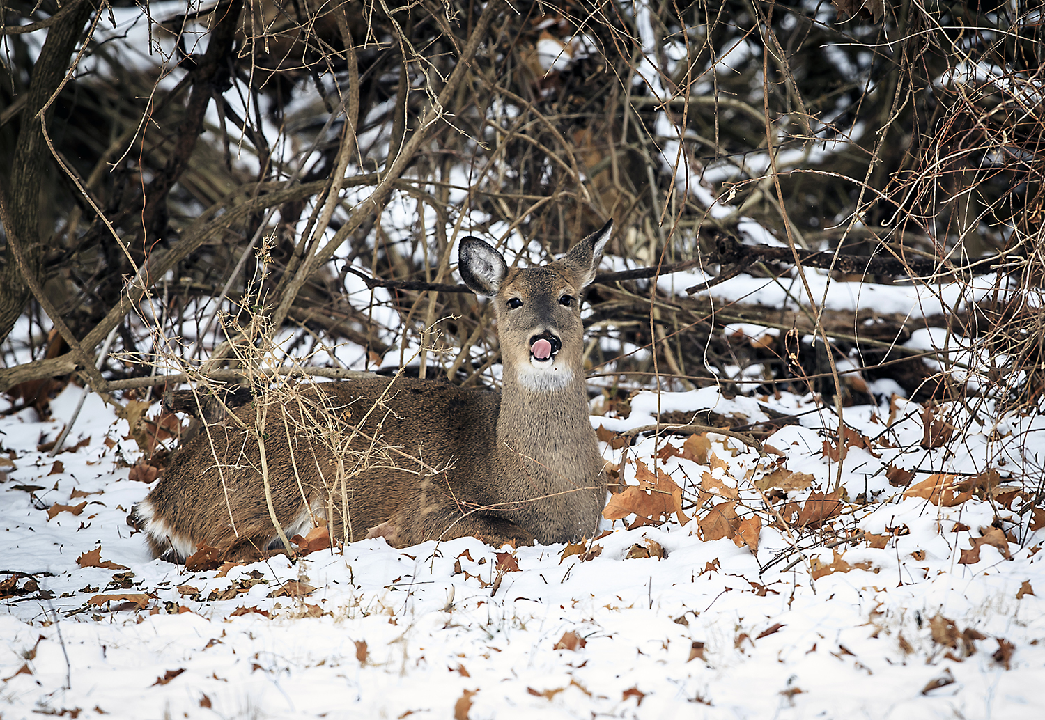 A doe licks her nose while bedded down in the snow on the edge of brush line along West Lake Shore Drive with temperatures hovering in the single digits, Tuesday, Jan. 16, 2018, in Springfield, Ill. The National Weather Service in Lincoln is forecasting warmer temperatures on the way with highs in the 20s on Wednesday and 40s and 50s for the weekend. [Justin L. Fowler/The State Journal-Register]