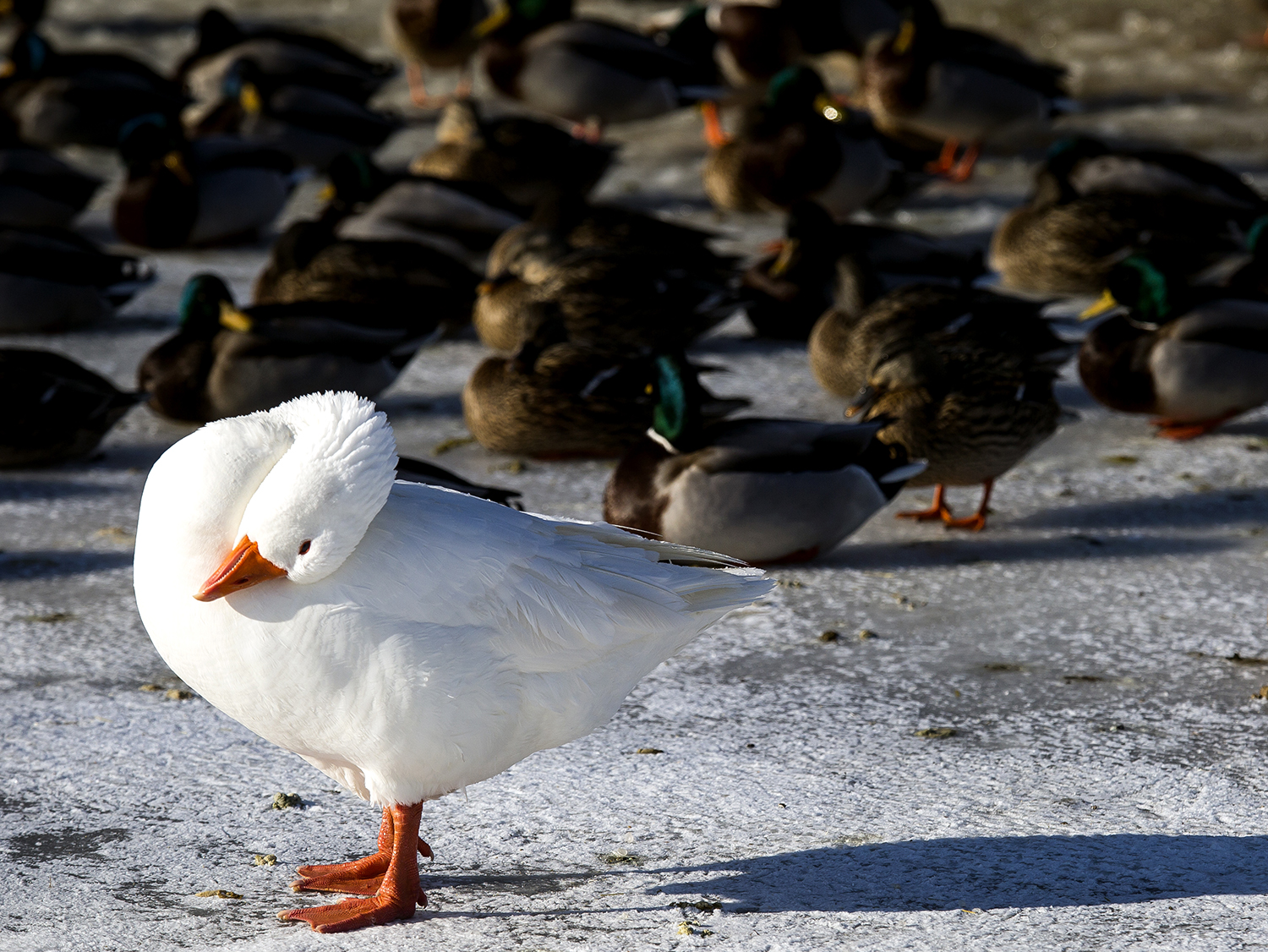 A domestic goose, standing out against a crowd of mallard ducks on the frozen Washington Park lagoon, preens its feathers Wednesday, Jan. 17, 2018. [Rich Saal/The State Journal-Register]