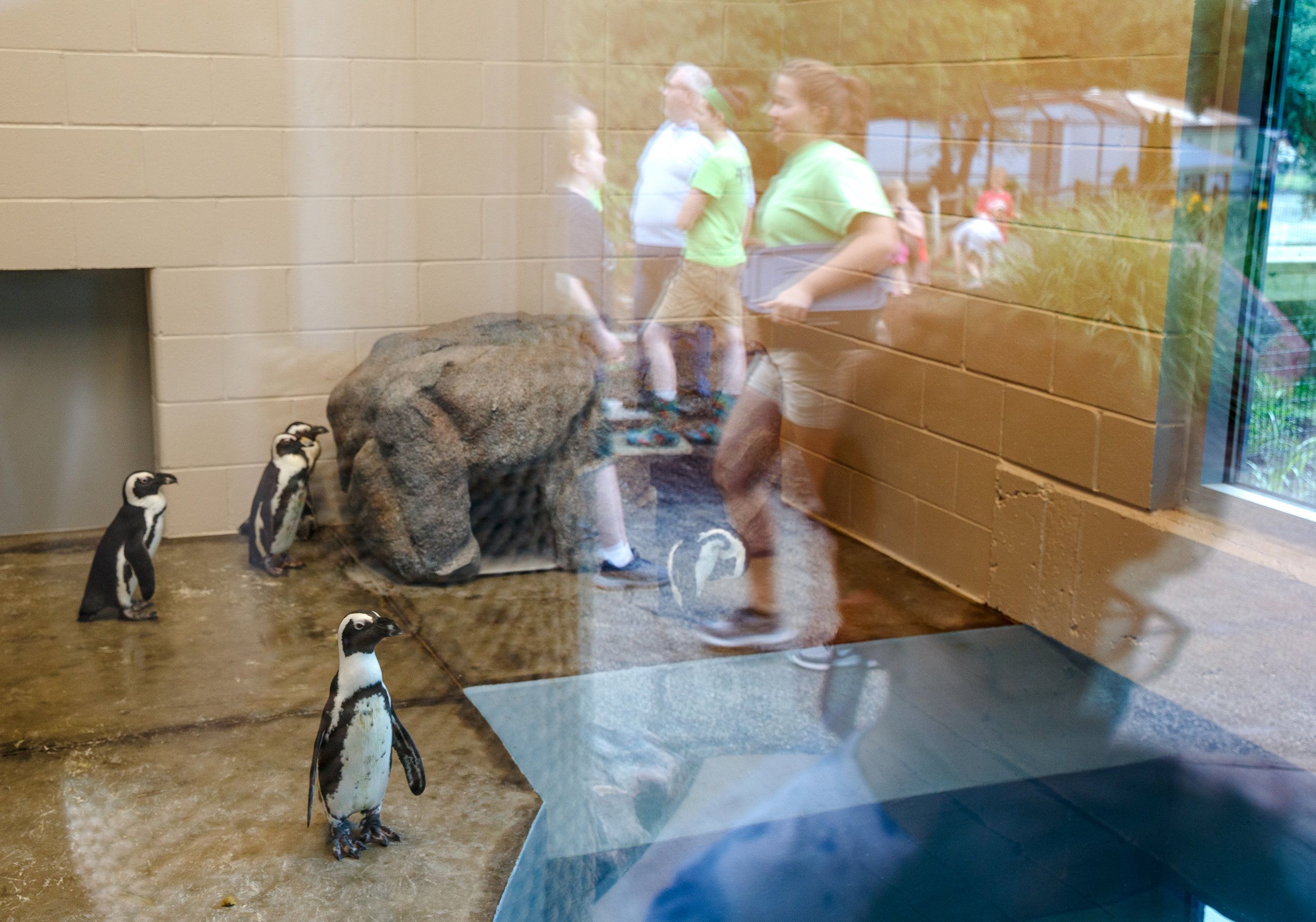 The five African penguins pear out through the twenty feet of glass in their new enclosure the also allows visitors to see during the official opening of the new penguin building at the Henson Robinson Zoo, Saturday, June 9, 2018, in Springfield, Ill. The building has triple the space, going from 200 square feet to about 600 square feet with more than 20 feet of glass to view the five penguins and their indoor pool.[Justin L. Fowler/The State Journal-Register]